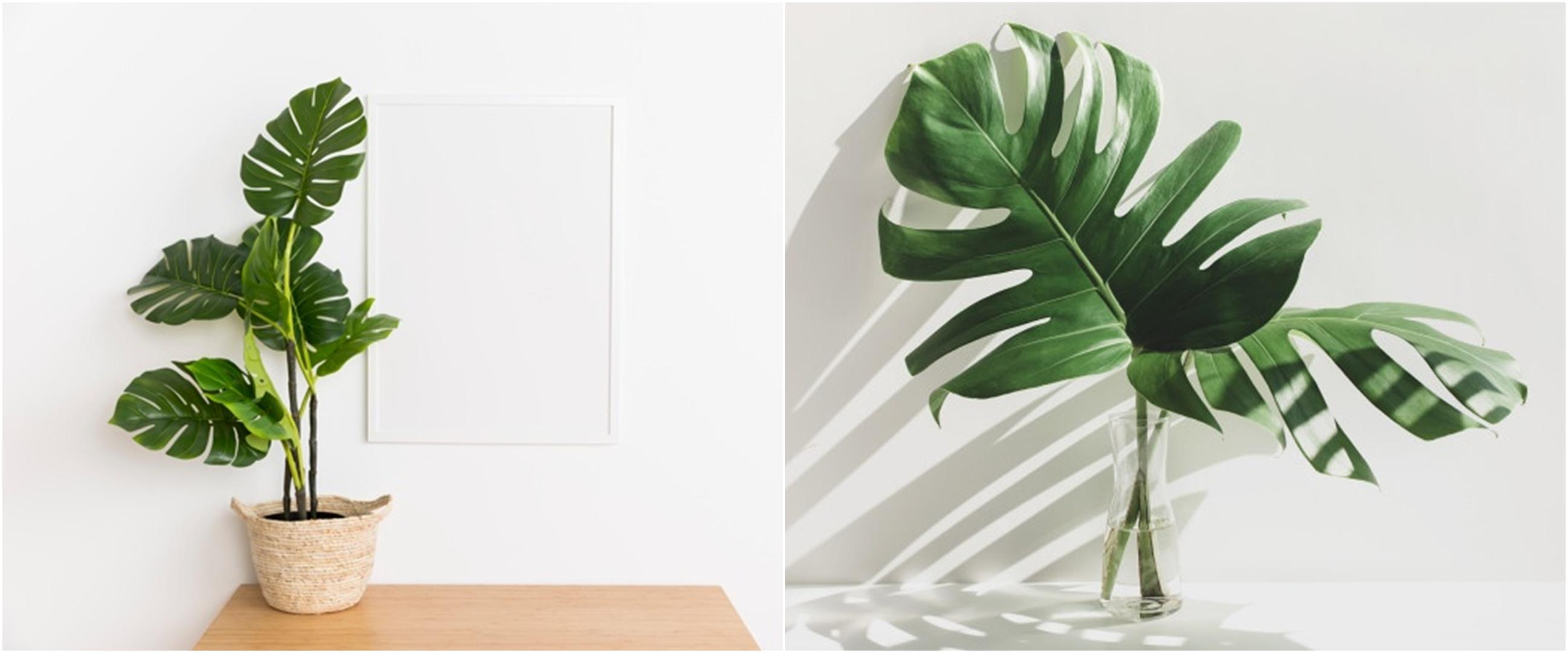 7 Cara merawat tanaman monstera agar subur dan tetap segar