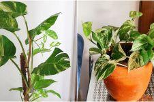 5 Cara merawat tanaman sirih gading agar daunnya jadi lebat dan indah