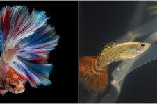 7 Cara merawat ikan cupang agar tetap cantik dan tak mudah mati