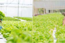 7 Cara menanam tanaman hidroponik untuk pemula, mudah dibuat
