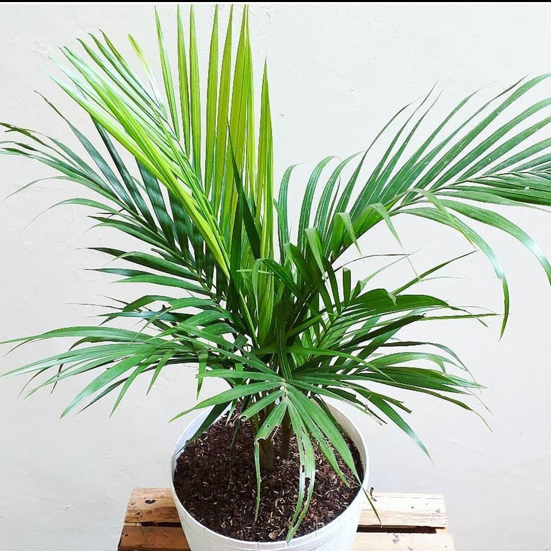 Cara menanam dan merawat pohon palem agar indah dan sehat