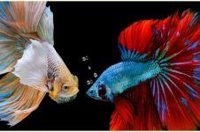 Ikan cupang jadi primadona di masa pandemi, pedagang raup untung besar