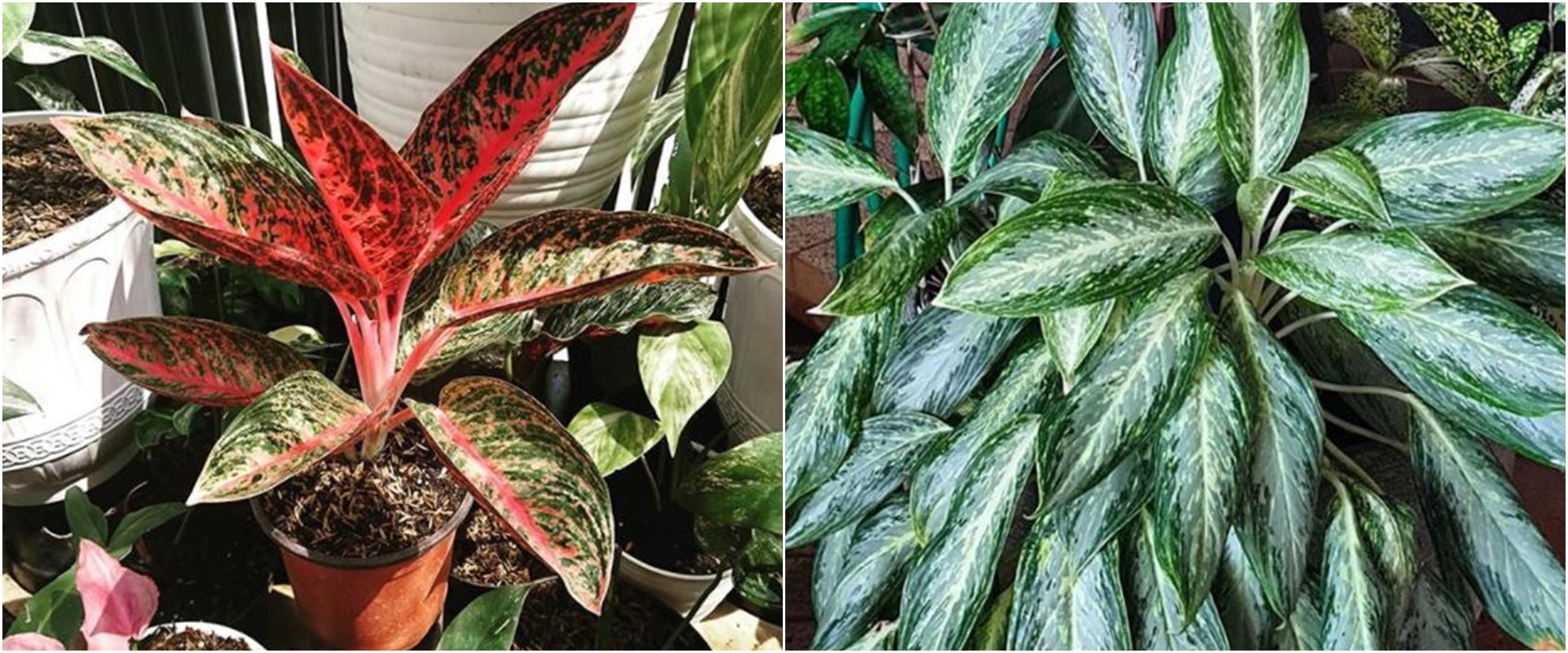 10 Jenis tanaman aglonema untuk hiasan rumah, perawatannya mudah