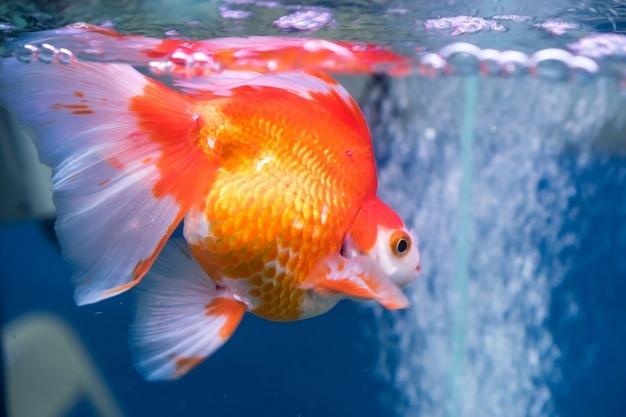 Jenis ikan hias akuarium © 2020 brilio.net