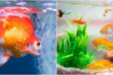 10 Jenis ikan hias yang cantik dan mudah dipelihara di akuarium