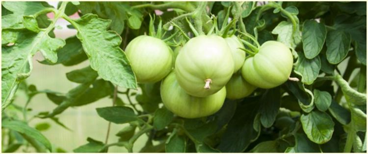 10 Manfaat tomat hijau untuk kesehatan, mencegah kanker