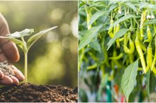 7 Cara menanam cabai di rumah, mudah, cepat tumbuh, dan berbuah banyak