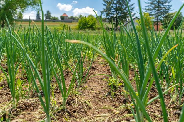 Cara menanam bawang merah © 2020 brilio.net