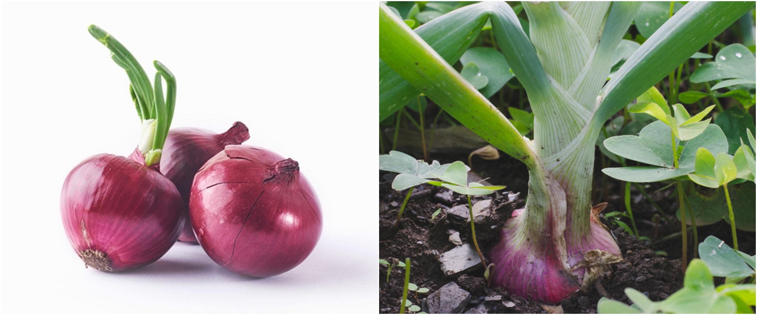 7 Cara menanam bawang merah di rumah, mudah dan cepat tumbuh