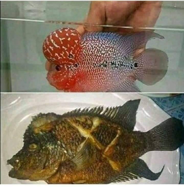 orang makan ikan kocak © Berbagai Sumber