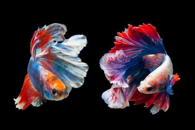 cara budidaya ikan cupang © 2020 brilio.net