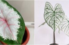 10 Jenis tanaman keladi yang cocok dijadikan hiasan rumah