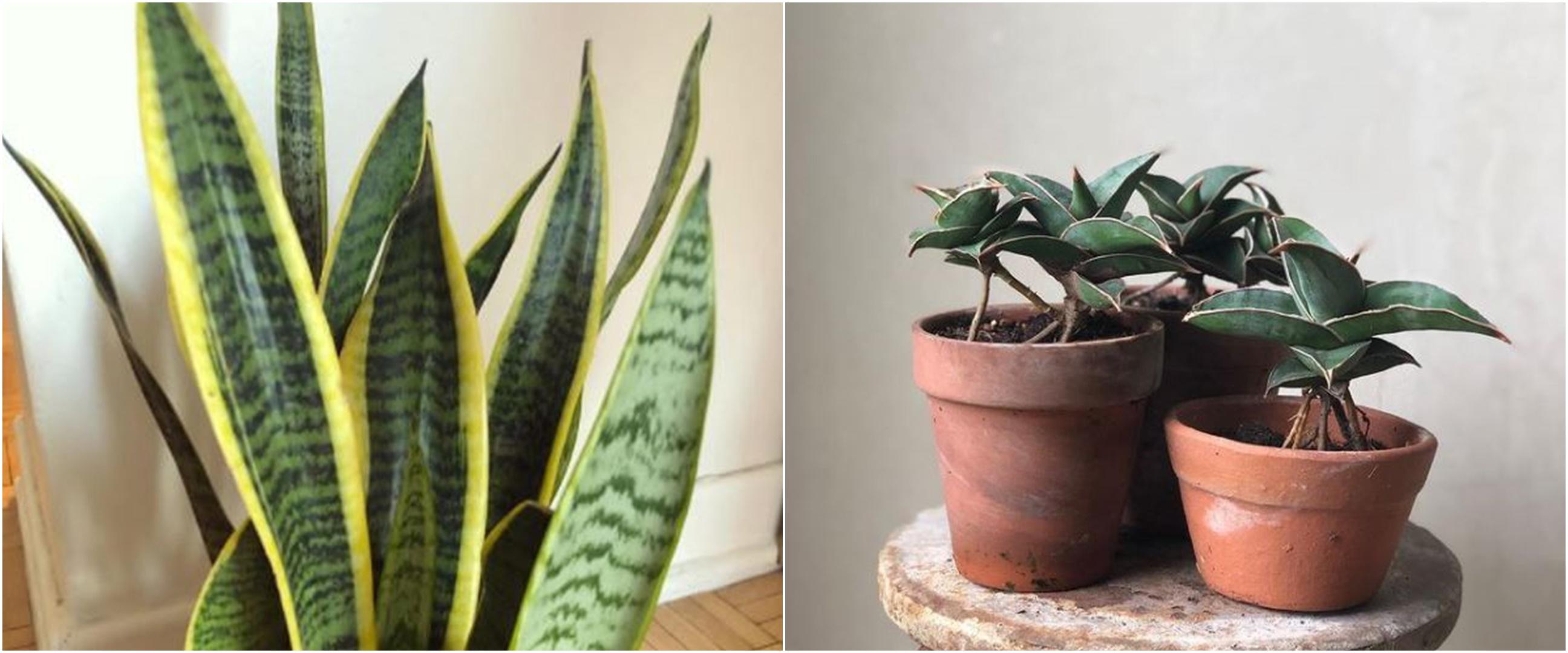 10 Jenis tanaman lidah mertua yang cocok dijadikan dekorasi rumah