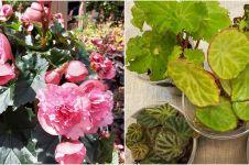 10 Jenis tanaman hias begonia, cocok digunakan untuk penghias rumah
