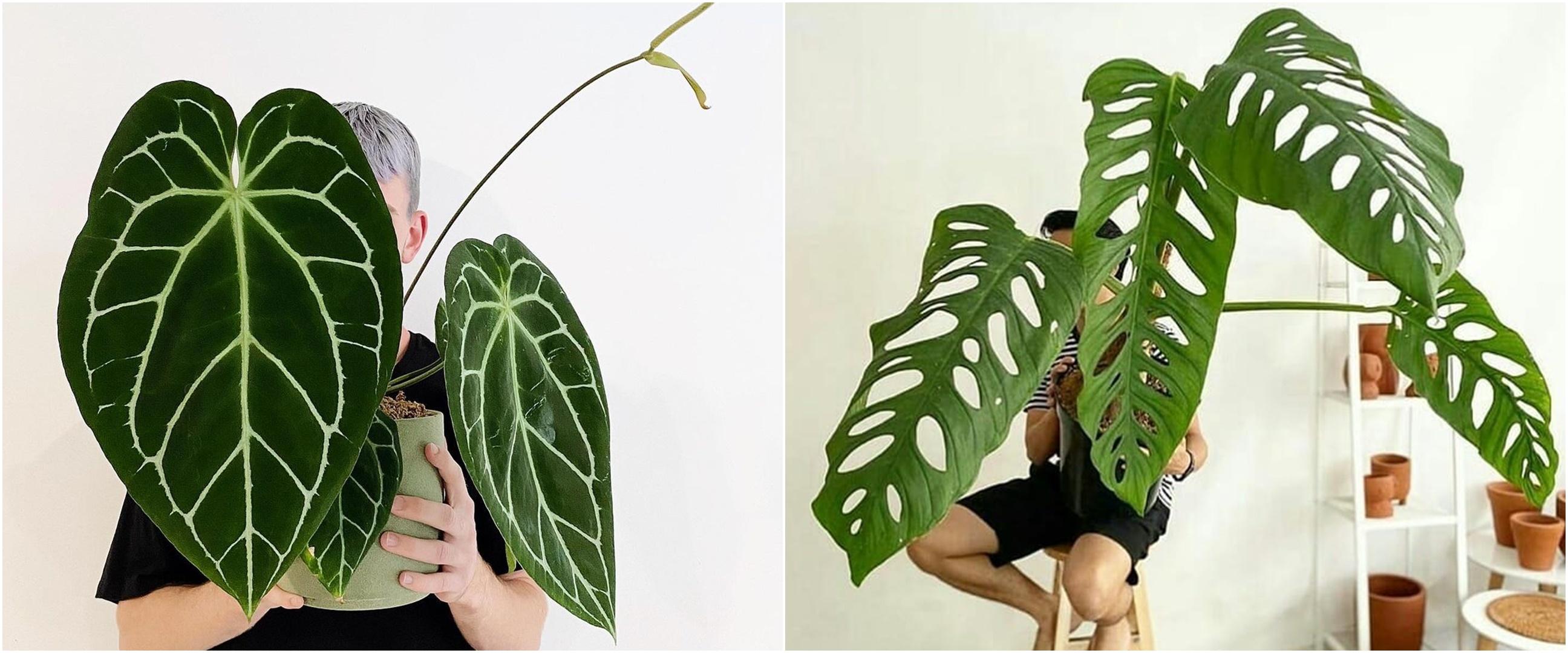 15 Jenis tanaman hias daun, beri efek segar di luar dan dalam rumah