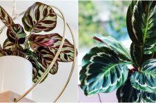 10 Jenis tanaman hias calathea, cocok untuk hiasan indoor