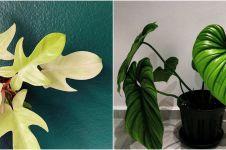 10 Jenis tanaman hias philodendron, memiliki bentuk daun yang cantik