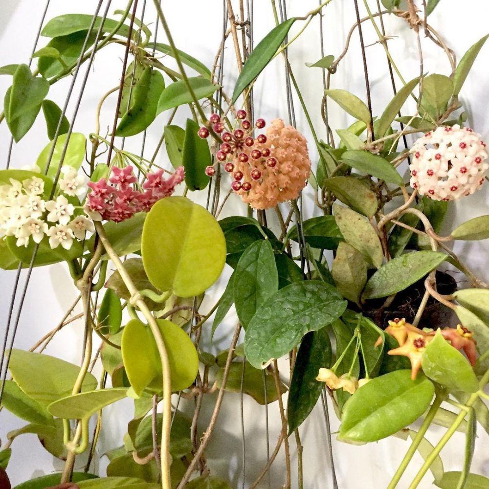 5 Cara merawat tanaman hias hoya agar cantik dan rimbun