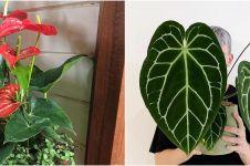 10 Jenis tanaman hias Anthurium, bisa dijadikan hiasan indoor