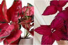 10 Tanaman hias berdaun merah, buat sudut rumah lebih berwarna