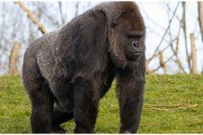 Tiga gorila positif Covid-19 di kebun binatang San Diego California