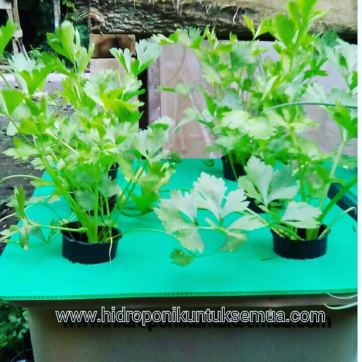 Jenis tanaman sayur hidroponik © 2021 brilio.net