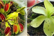 8 Jenis tanaman karnivora, bisa memakan serangga di sekitar rumah