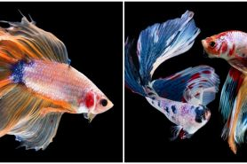 5 Cara ampuh mengatasi ikan cupang yang stres