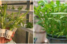 7 Cara mudah menanam hidroponik kangkung di rumah, mudah dan praktis