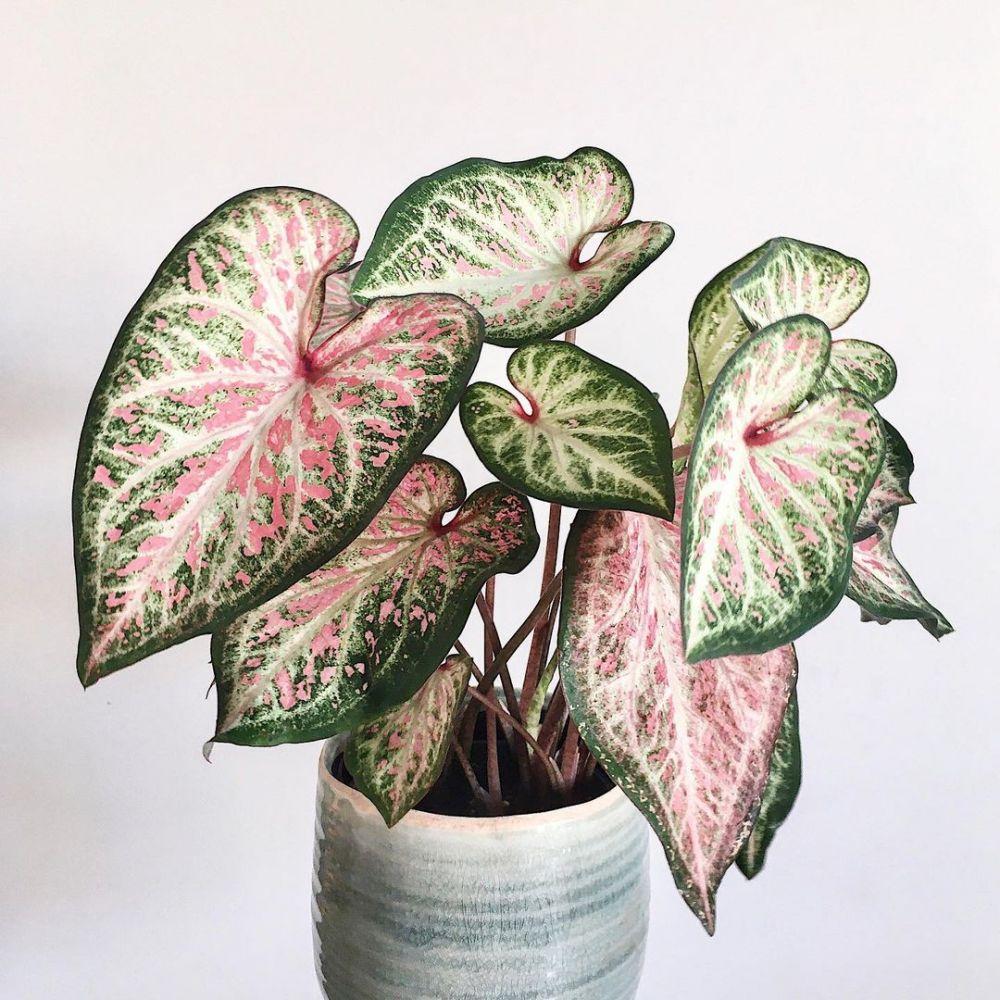 Jenis tanaman keladi yang hits di 2021 Instagram