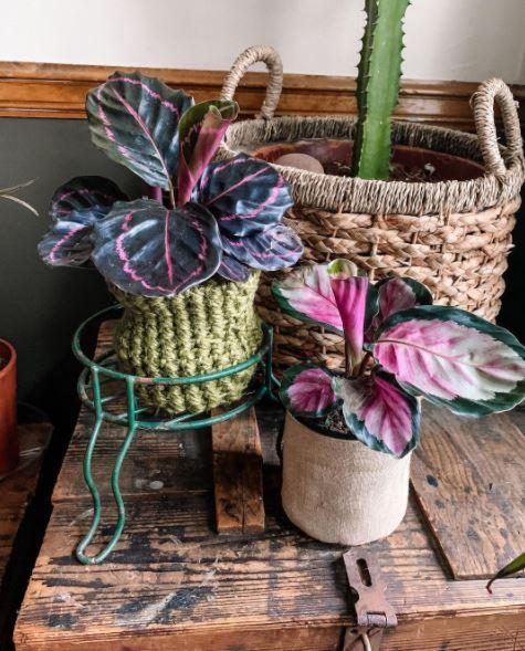 tanaman hias daun ungu © Instagram