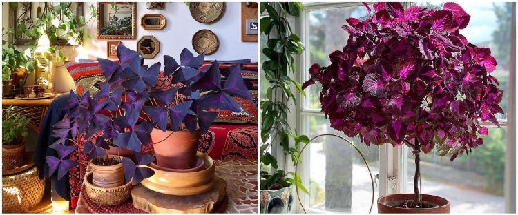 10 Jenis tanaman hias daun ungu, cocok buat mempercantik rumah