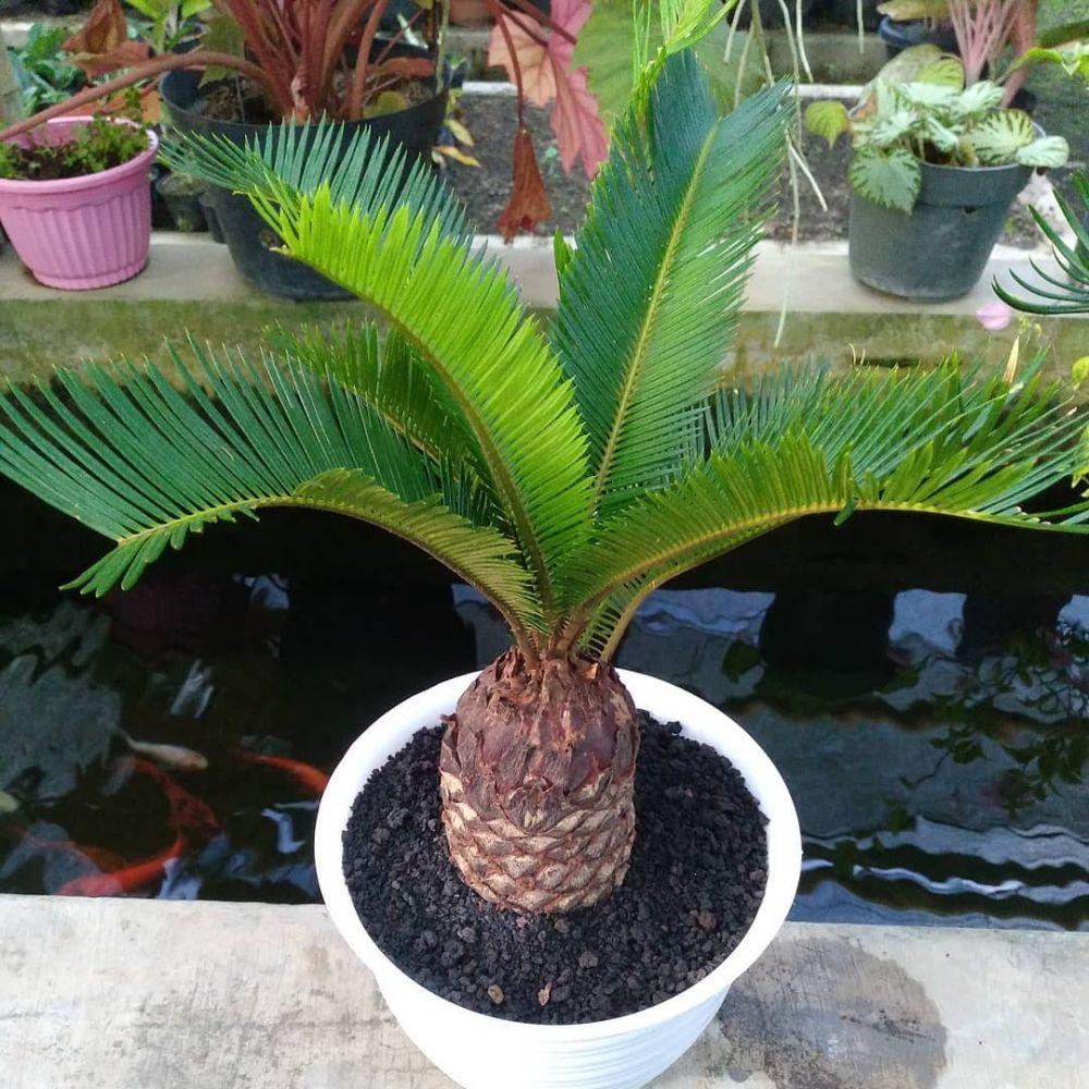 Jenis tanaman hias batang © 2021 brilio.net
