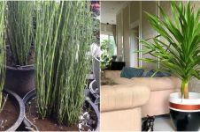 10 Jenis tanaman hias batang, indah dan cocok untuk dekorasi rumah