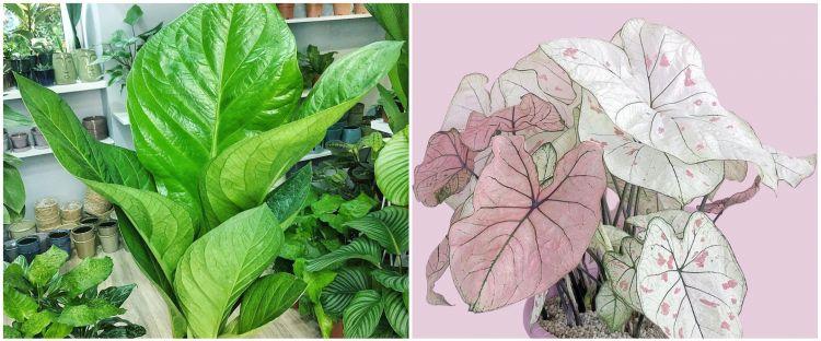 10 Tanaman hias daun lebar, cantik dan cocok untuk dekorasi rumah