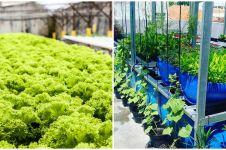 Cara menanam tanaman hidroponik di atas kolam lele