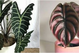 10 Jenis tanaman hias daun Alocasia, coraknya indah dan mudah dirawat