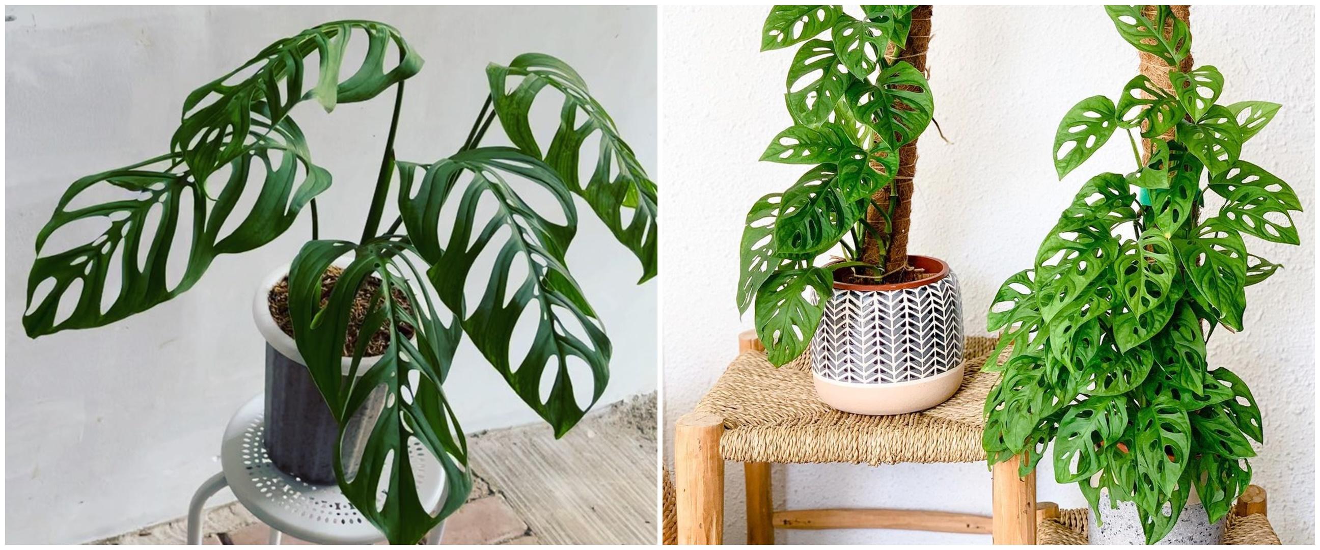 10 Jenis tanaman hias daun bolong, cocok buat indoor dan outdoor