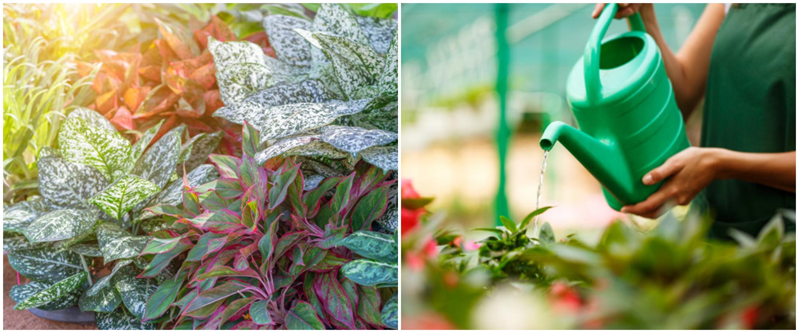 Cara merawat bunga aglonema lipstik, simpel untuk pemula