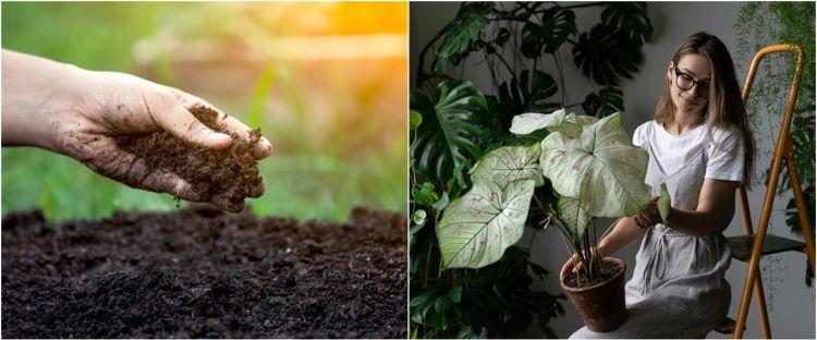750xauto 7 cara menanam tanaman hias keladi agar tumbuh subur dan indah