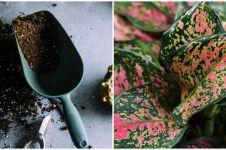 Manfaat merawat bunga aglonema di rumah, mampu membasmi polusi