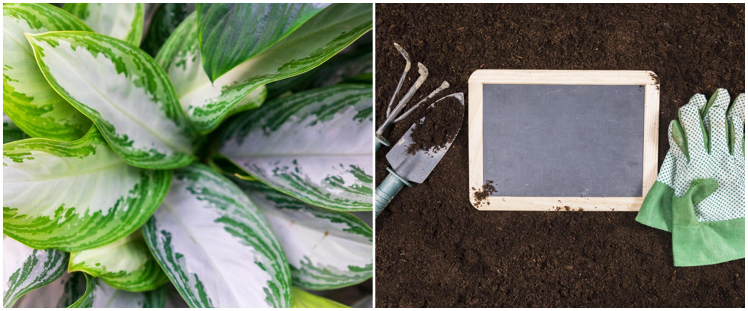 8 Cara merawat aglonema silver queen, bikin tanaman sehat