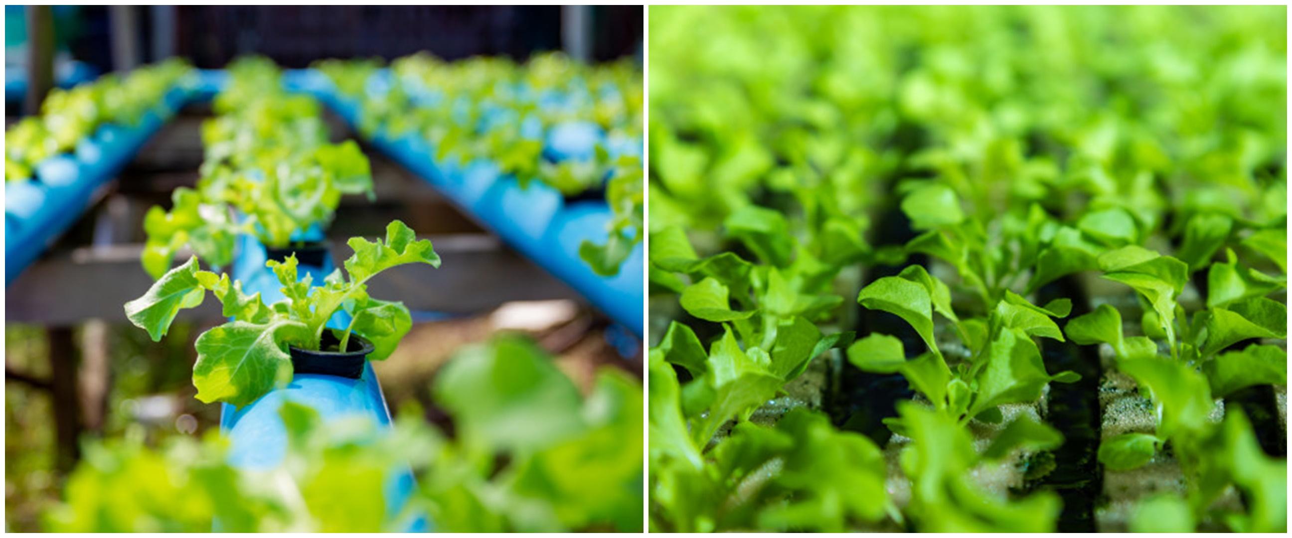 7 Cara menanam tanaman hidroponik bayam di rumah, antiribet