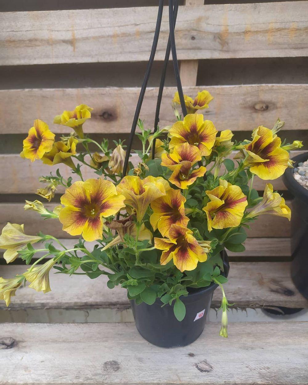 tanaman hias gantung bunga ©Instagram