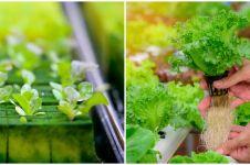 Cara menanam tanaman hidroponik rockwool untuk pemula