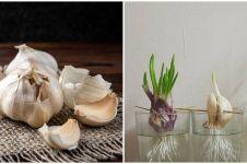 Cara menanam hidroponik bawang putih, subur dan lebat