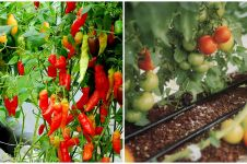 Cara menanam hidroponik cabe dan tomat, mudah dan berbuah banyak