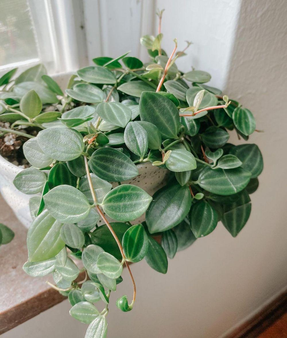 Tanaman hias daun indoor © Instagram