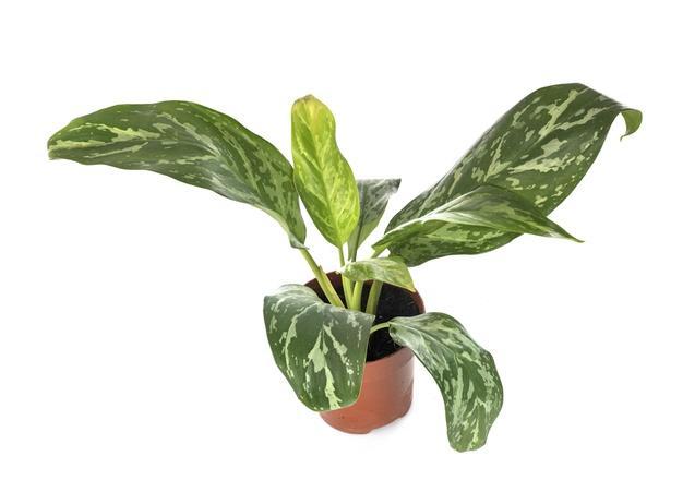 Keistimewaan aglonema sebagai tanaman indoor © freepik.com
