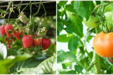 8 Tanaman hidroponik buah, mudah ditanam dan cocok untuk ide bisnis